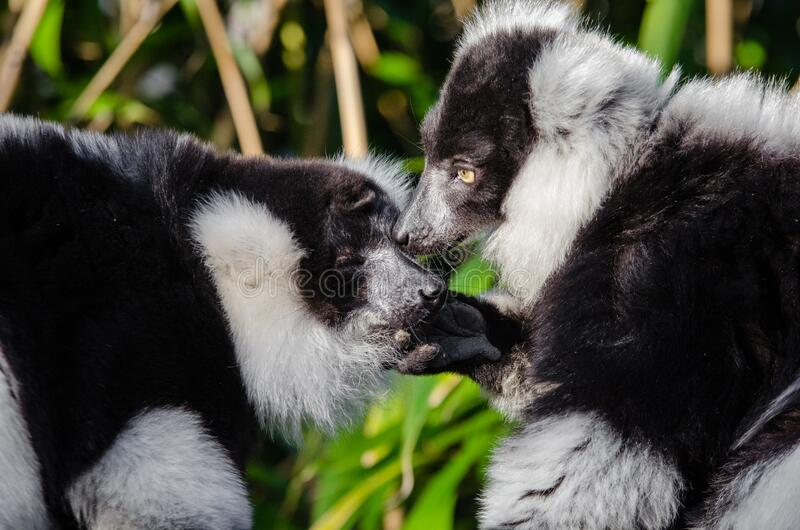 Download Lemur stock image. Image of lemurs, bokeh, germany, madagascar - 82916525