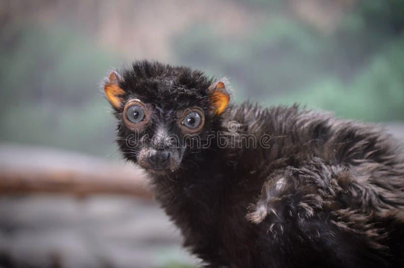 lemur imagens de stock royalty free