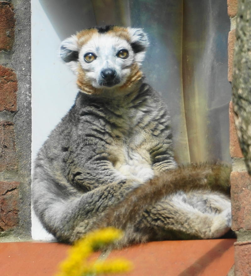 lemur fotos de stock