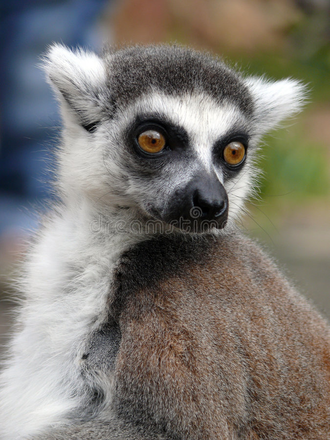 Lemur. Ring-tailed Lemur portrait from zoo Prague in Czech republic royalty free stock images
