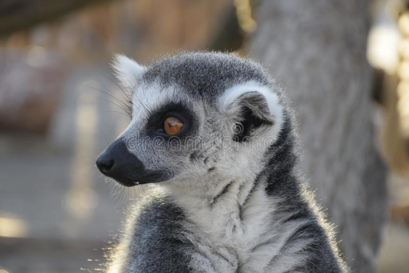 lemur royalty-vrije stock afbeelding