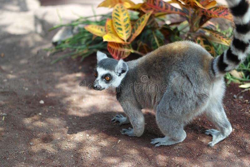 Lemur fotografia royalty free