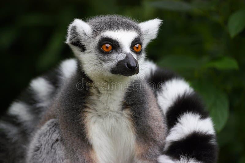 Lemur atado anillo foto de archivo libre de regalías
