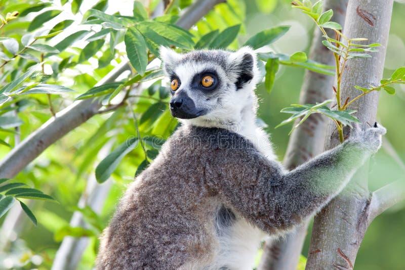 Lemur av Madagascar royaltyfri fotografi