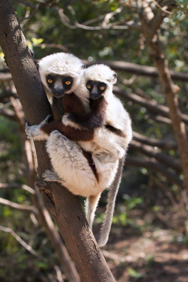 Lemur avec la chéri image stock