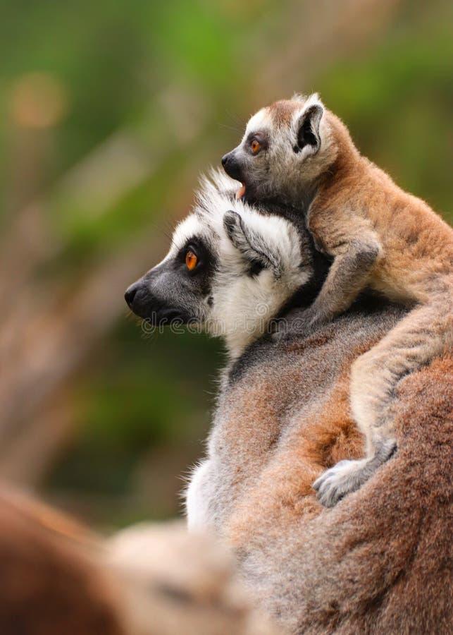 Lemur avec la ch?ri photo stock