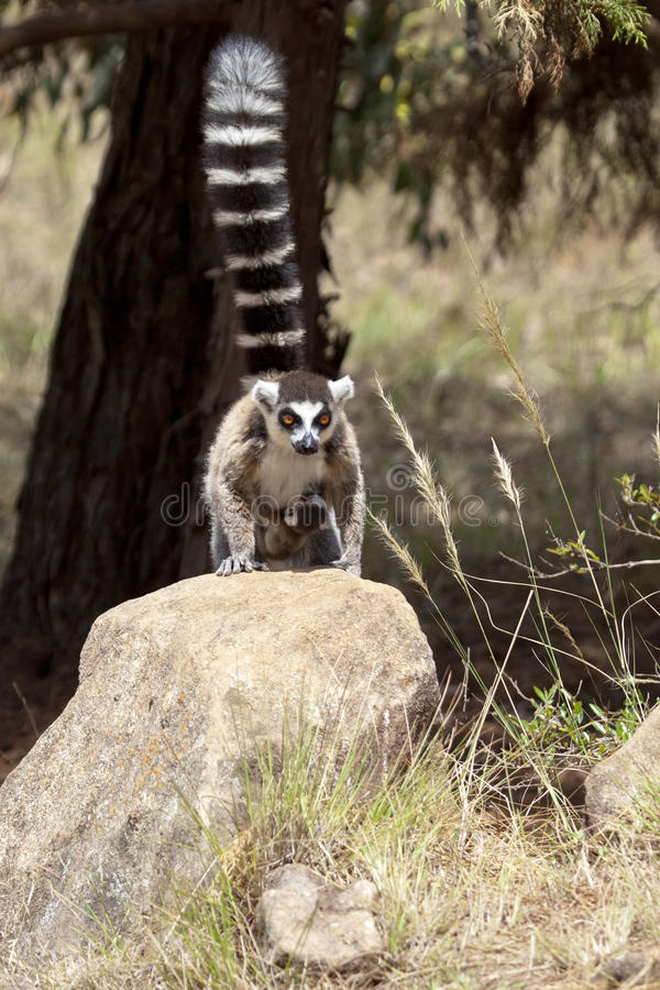 Lemur with baby. Lemur male with small baby, sitting on the stone, wildlife picture, Madagascar royalty free stock photos