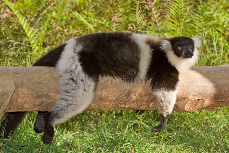 Lemur in bianco e nero di Ruffed fotografie stock libere da diritti