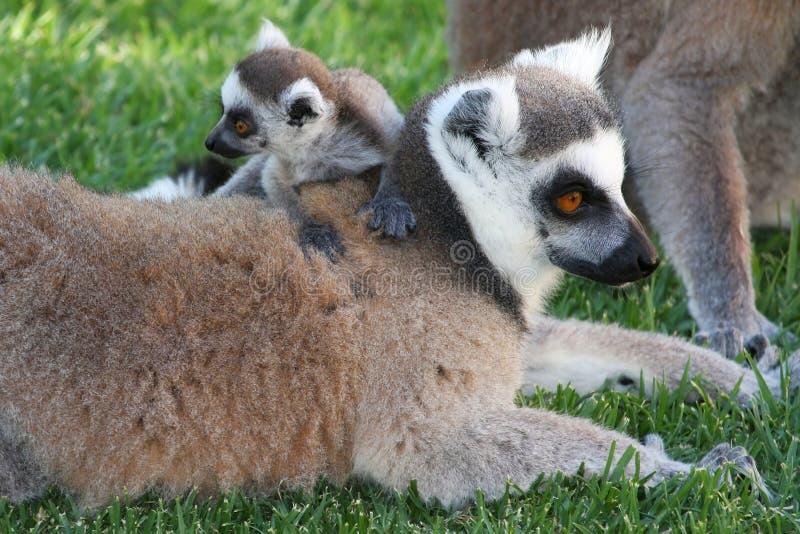 Lemur bonito do bebê fotos de stock