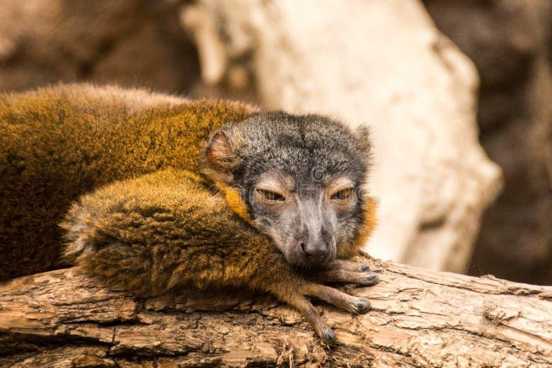 Lemur at Bronx Zoo royalty free stock photo