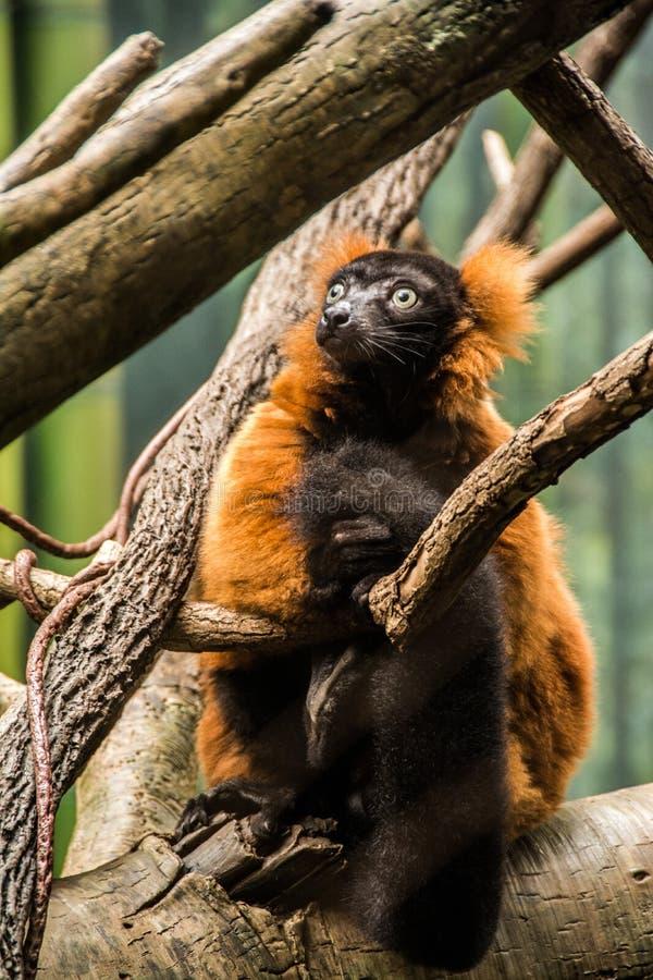 Lemur at Bronx Zoo stock image