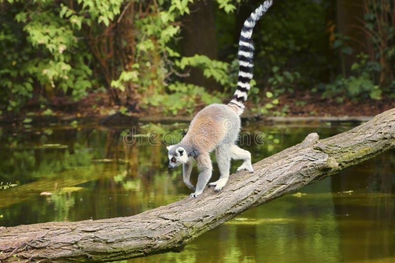 Lemur, Lemur cata, un primate di strepsirrena, con una museruola sporgente e un naso bagnato Animali della fauna selvatica fotografia stock libera da diritti