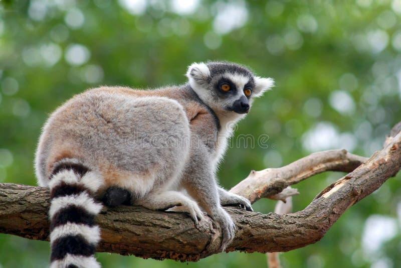 Lemur Catta imagenes de archivo
