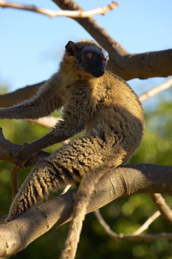 lemur catta стоковое изображение rf