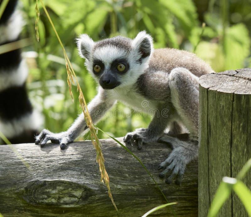 Lemur catta baby on the mother`s back/Lemur catta baby and mother/Lemur Catta. ZOO in Pilsen, Czech Republic stock photo
