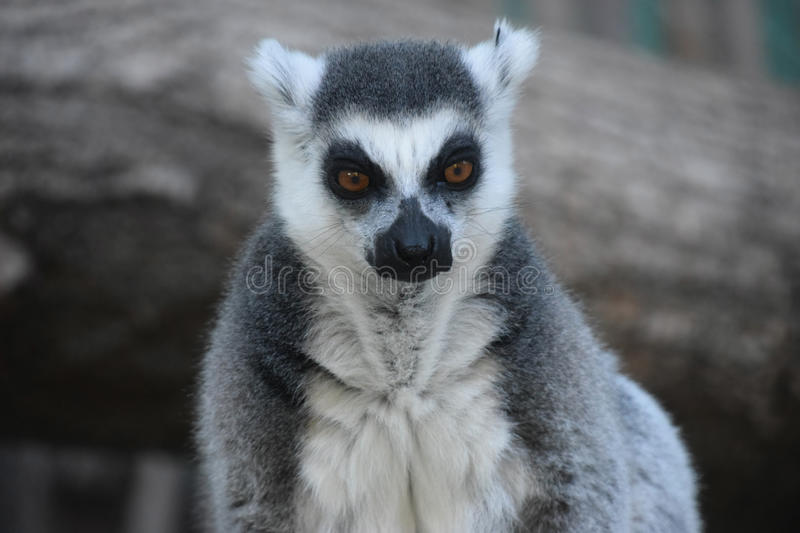 Lemur catta. Gray-white serious lemur photographed close-up and stares ahead royalty free stock photo