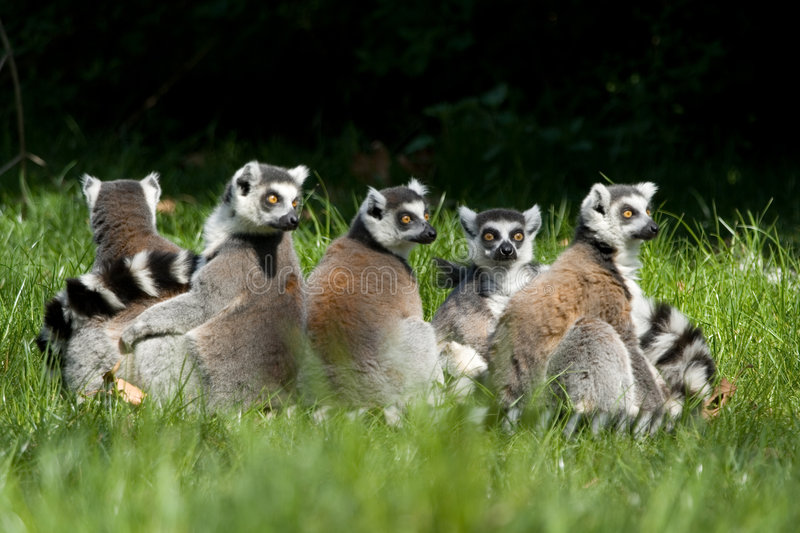 Lemur catta group royalty free stock photo