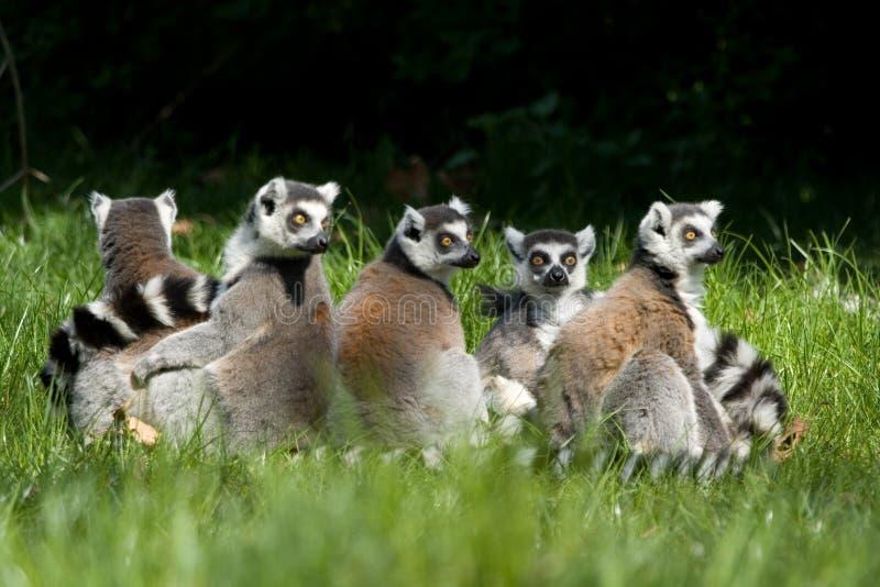 Lemur catta Gruppe lizenzfreies stockfoto