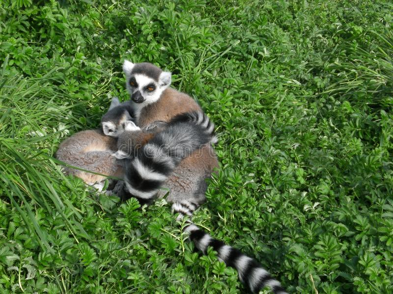 Lemur catta and baby. Lemur catta and her baby on green grass. Ring-tailed lemur from Madagascar royalty free stock images