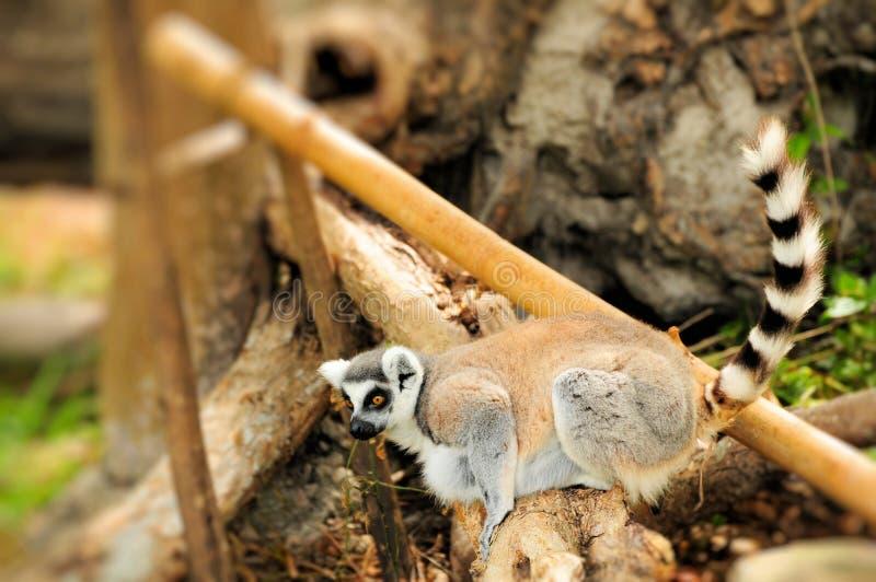 Lemur (catta Lemur) стоковые изображения rf