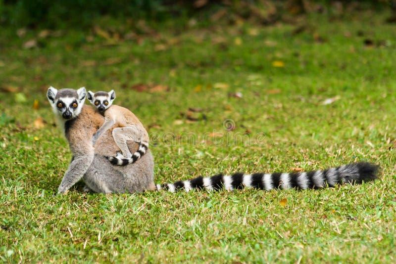 Lemur catta of Madagascar stock images