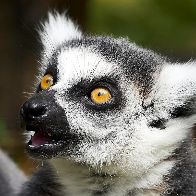 Lemur catta monkey closeup face stock photography