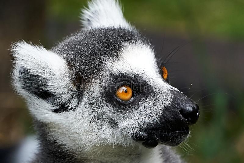 Lemur catta monkey closeup face portrait. Big orange eyes white furry ears royalty free stock images