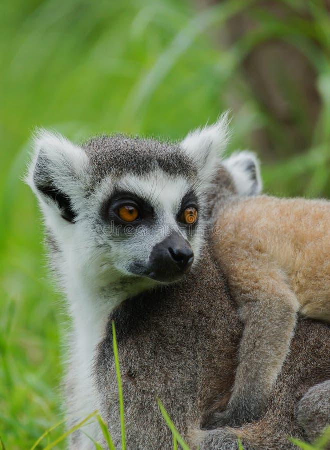 Download Lemur Catta / Ring Tailed Lemur Stock Image - Image: 25933669