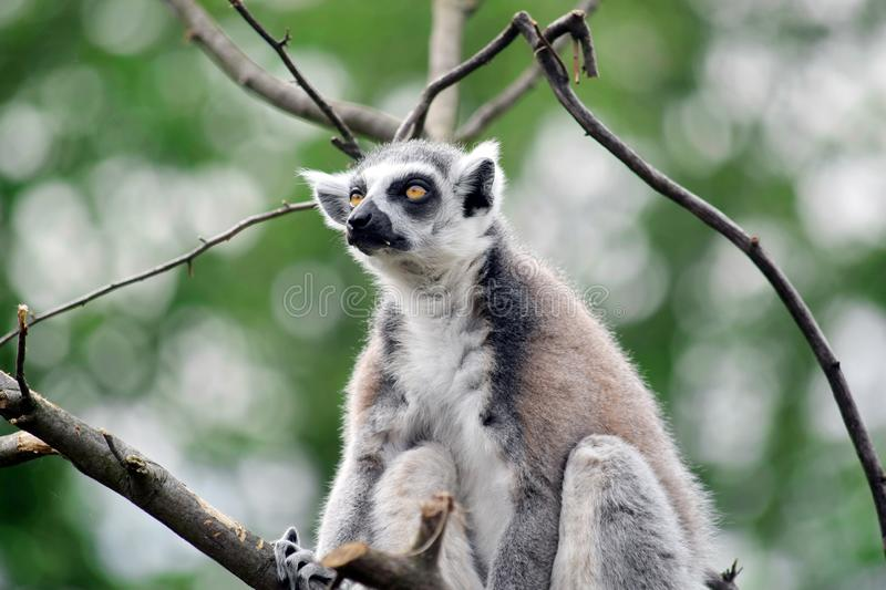 Lemur Catta Sitting on Branch and Looking stock photos