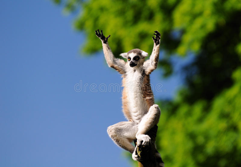 Lemur. Catta sitting on the top of branch stock image