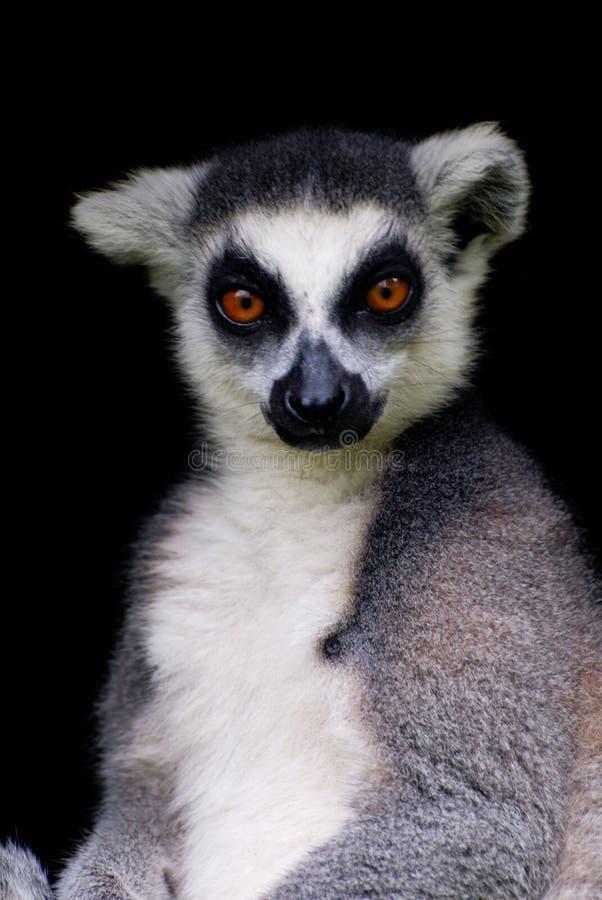 Lemur Cattar fotos de archivo