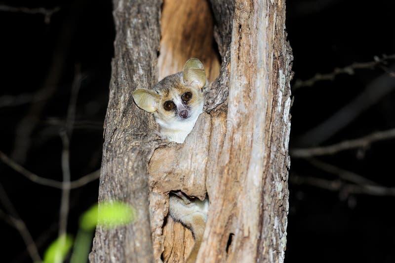 Lemur cinzento do rato, kirindy fotografia de stock royalty free