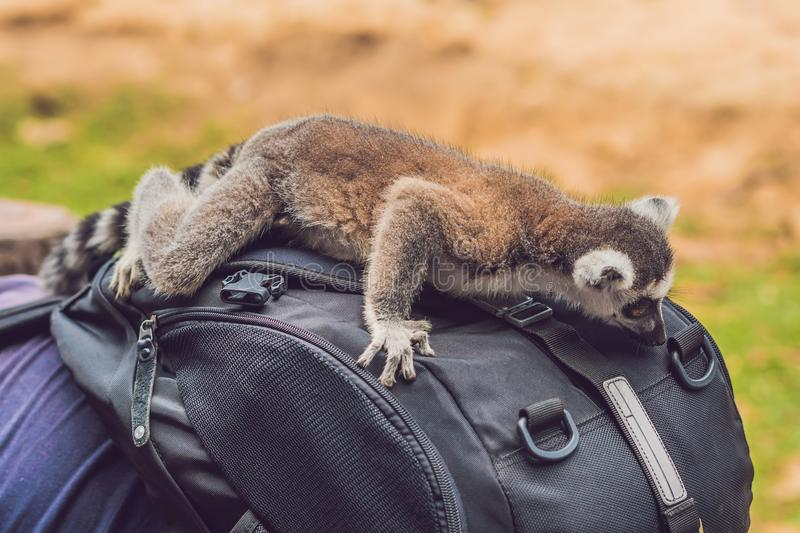 Lemur climbed onto the man. Animal attack in the zoo.  stock images