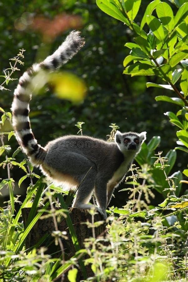 Lemur contre éclairé image stock