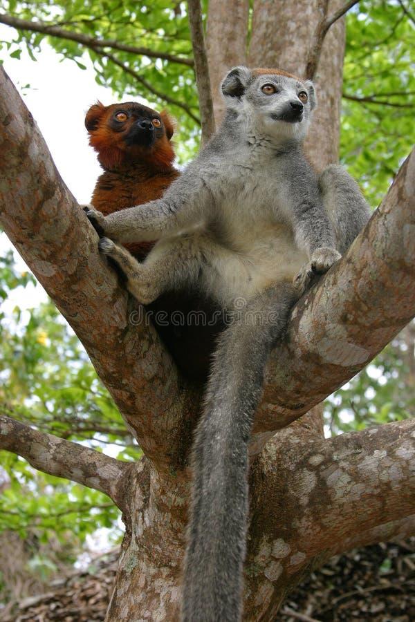 Lemur coroado e lemur ruffed bastardo imagens de stock