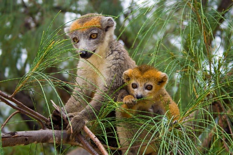 Lemur Coronatus del Madagascar fotografia stock