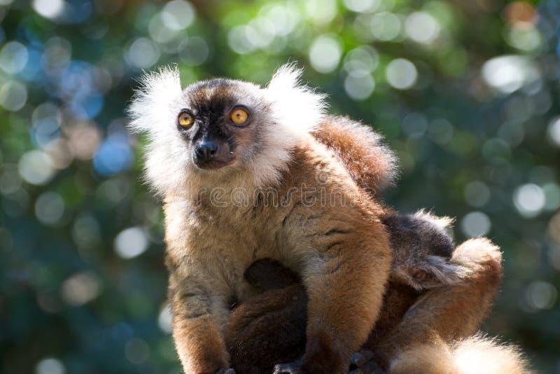 Lemur de Brown fotografía de archivo