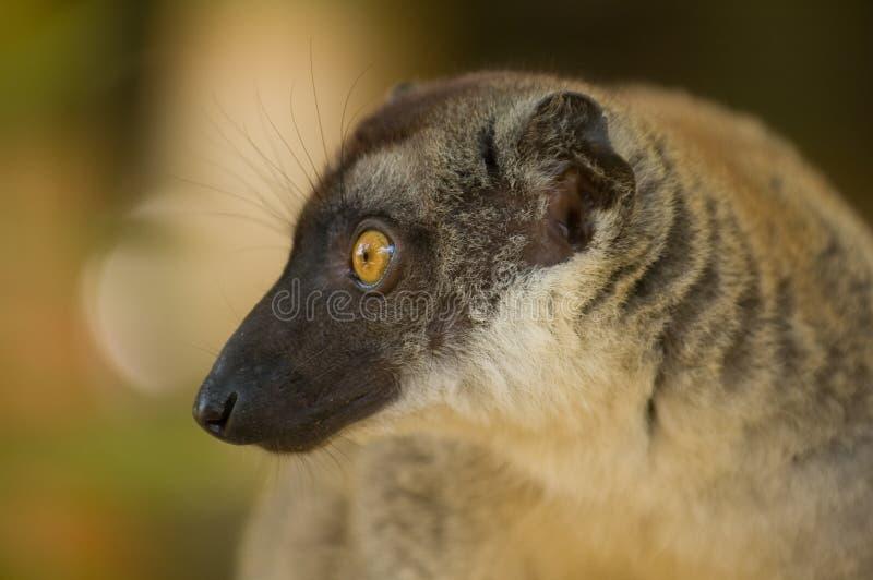 Lemur de Brown photographie stock