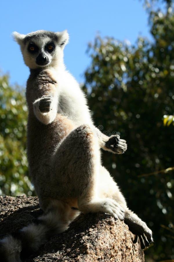 Lemur de exposition au soleil photo stock