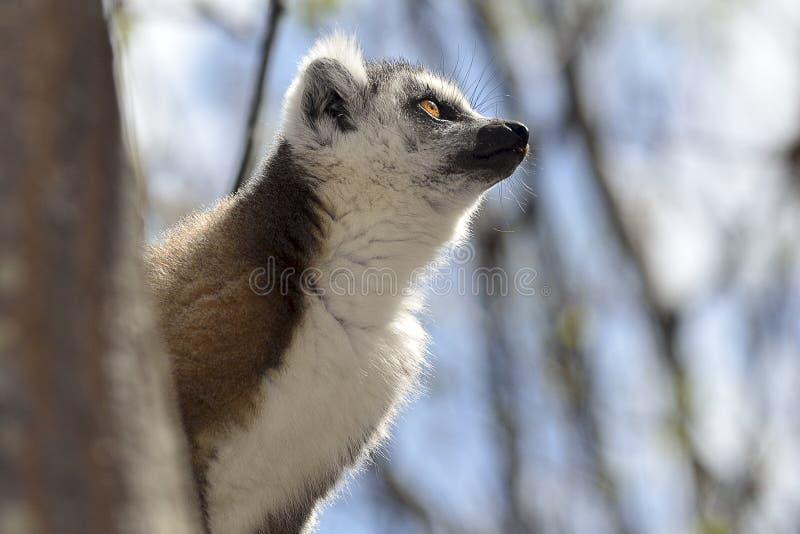 Lemur de la cola del anillo fotos de archivo