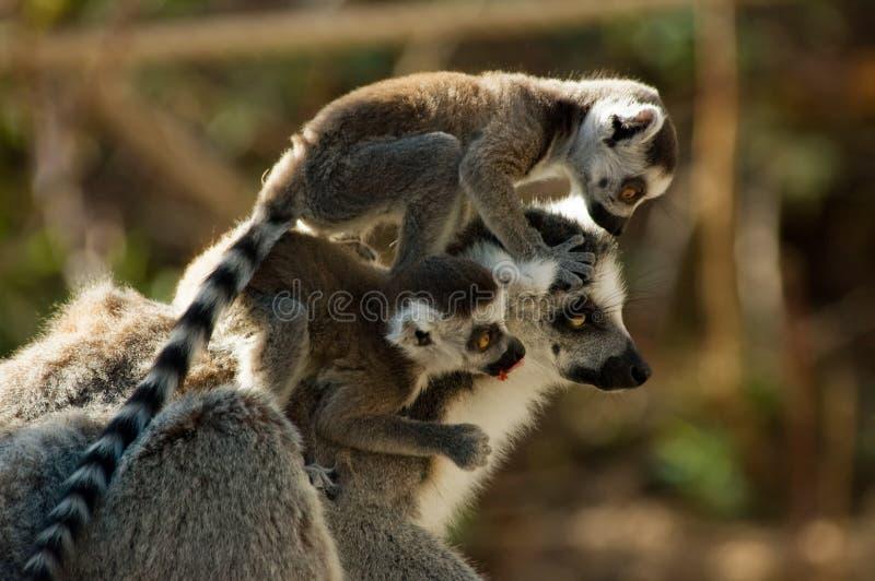 Lemur de mère et de chéri photo libre de droits
