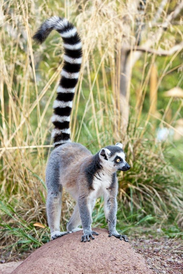 Lemur de Madagascar imagens de stock royalty free