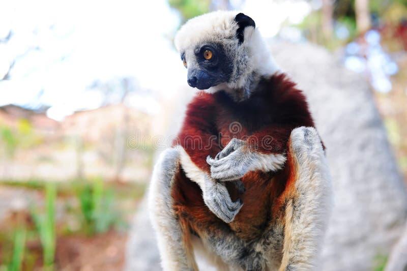 Lemur de Madagascar fotos de stock