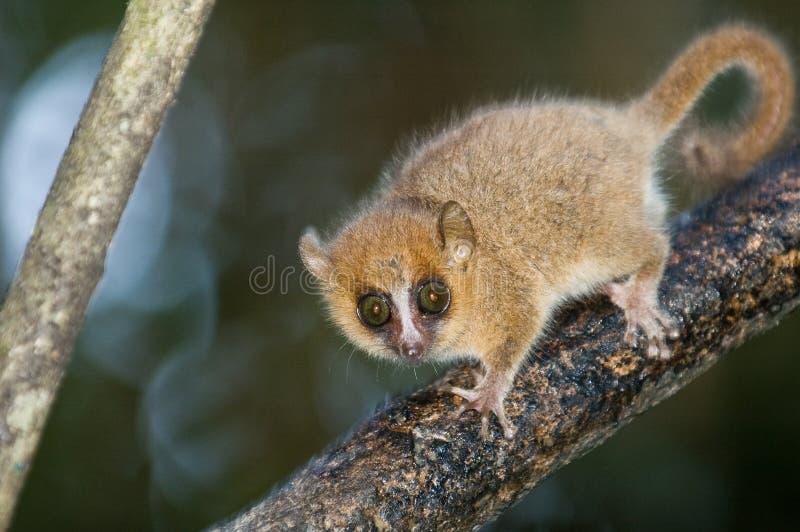 Lemur de souris photos libres de droits