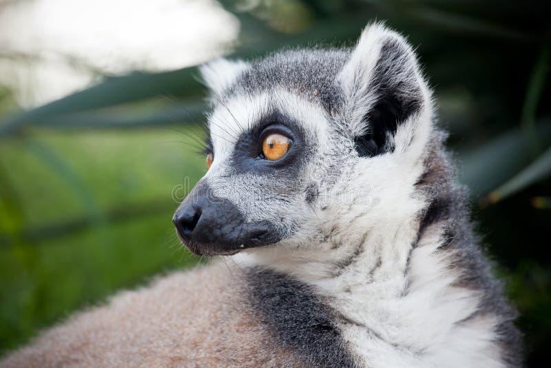 Lemur del Madagascar immagine stock