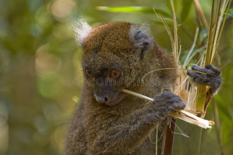 Lemur di bambù fotografia stock