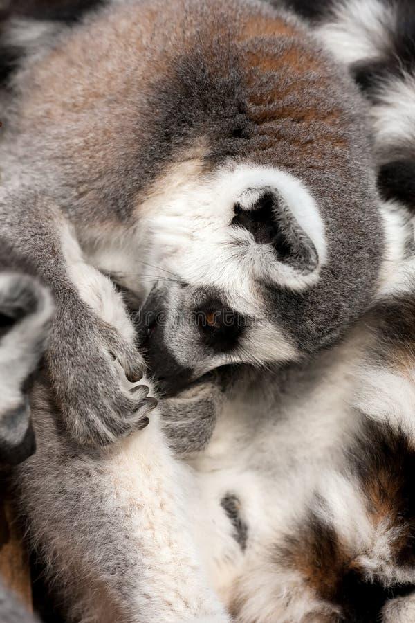 Download Lemur do Anel-tailled foto de stock. Imagem de selvagem - 12805362