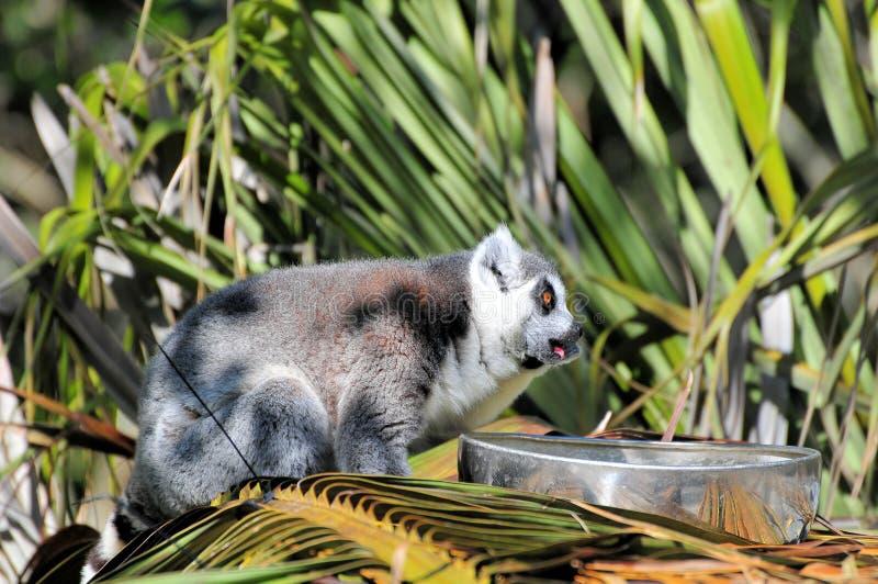 Lemur Eating stock images