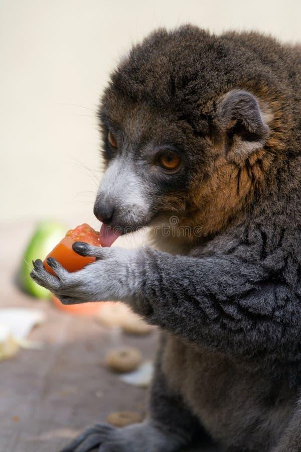 Free Lemur Eating Stock Images - 2691164