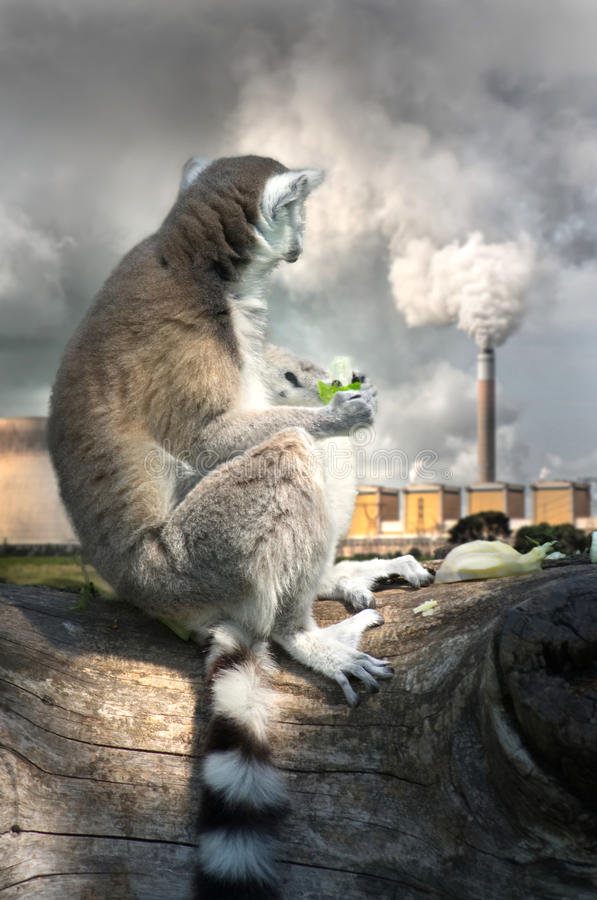 Lemur eating salad, looking sadly at the chimney of a thermal power plant. Pollution and temperature increase generated by power plants, some of the main causes